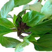 Sweet Thai Basil (Bai Horapah)